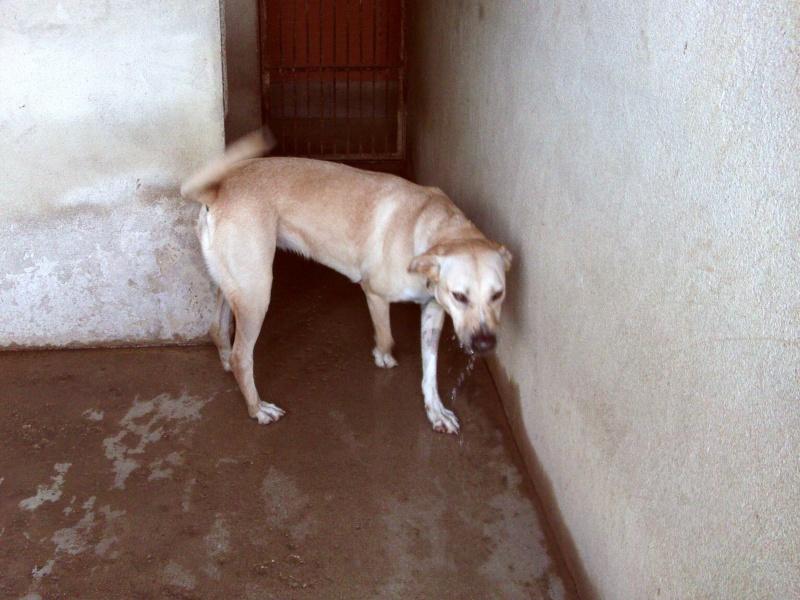 [39] Djina est une femelle labrador croisé Dsc_0164