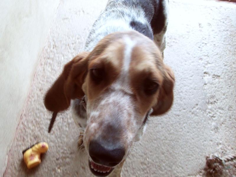 Diane est un chien de chasse femelle (39) Dsc_0206
