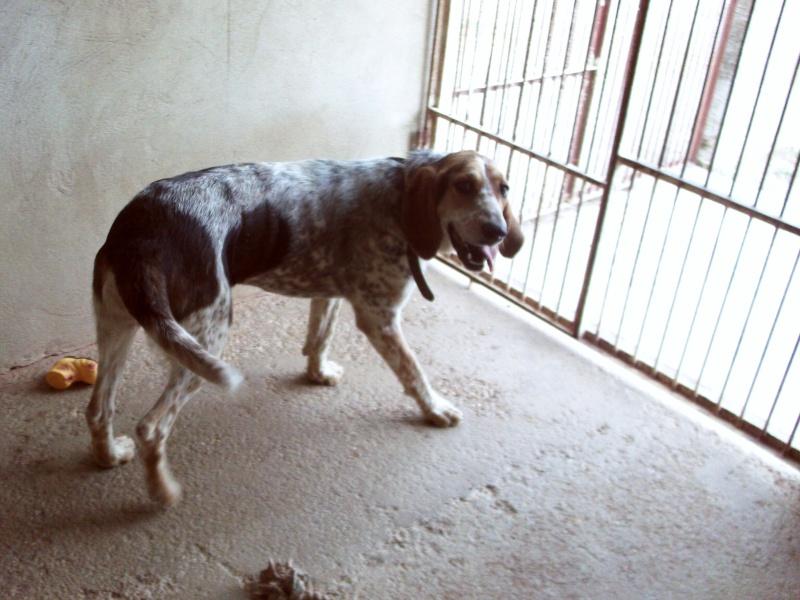 Diane est un chien de chasse femelle (39) Dsc_0207