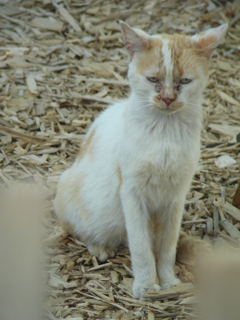 Bamboo, adorable jeune chat roux et blanc sauvé de la rue P1160911
