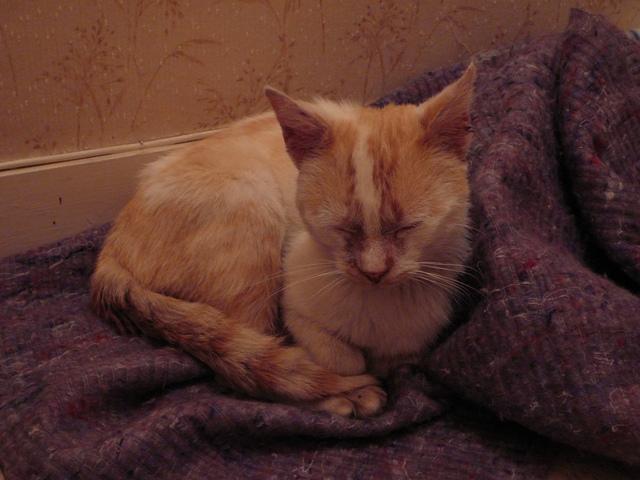Bamboo, adorable jeune chat roux et blanc sauvé de la rue P1170110