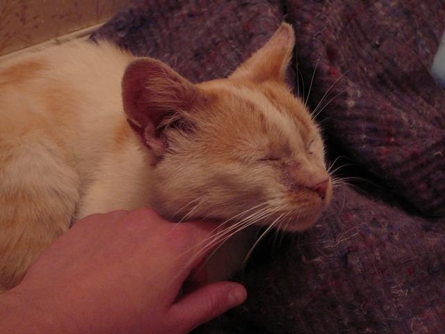 Bamboo, adorable jeune chat roux et blanc sauvé de la rue P1170112