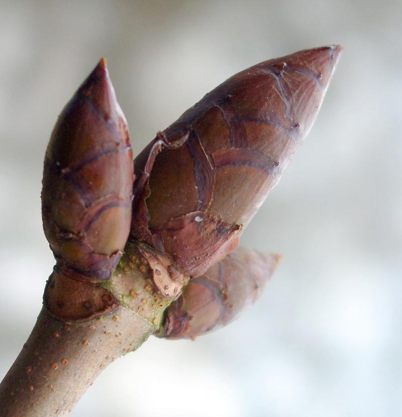 Dans l'attente du printemps ... Les bourgeons - Page 2 01010110