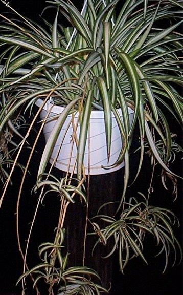 Le chlorophytum, plante dépolluante et productrice d'oxygène Chloro10