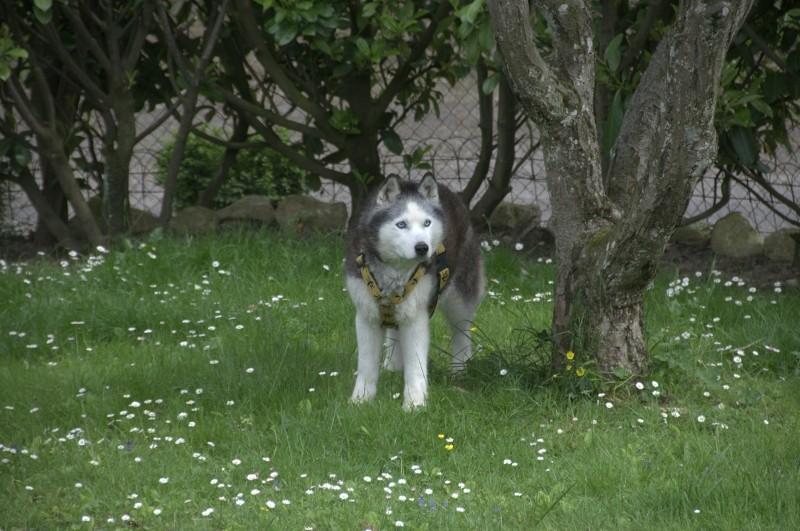 Andrea, siberian hushky,11 ans (58)   DECEDEE - Page 2 Andrea12