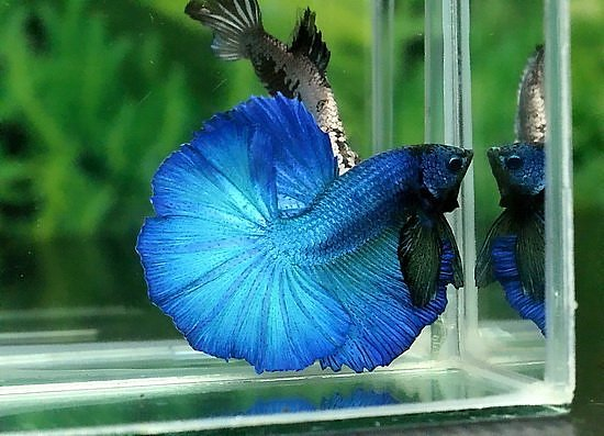 Betta splendens : Forme et couleur  Mask_a10