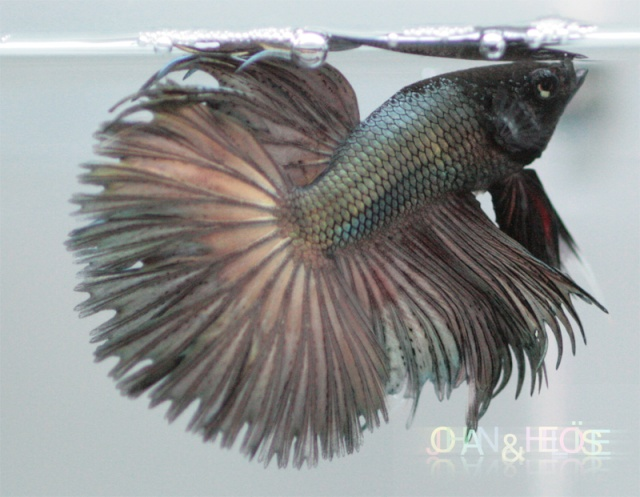 Betta splendens : Forme et couleur  Photo211