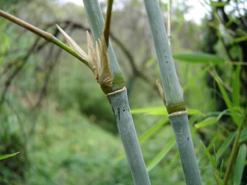 Bambou bleu!!! Dsc00311