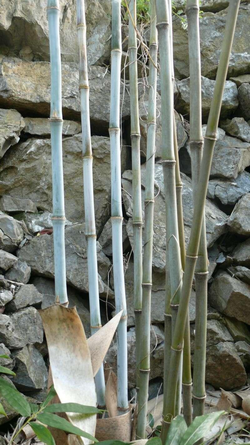 Bambou bleu!!! L1010715