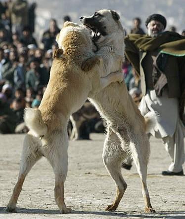 Les combats d'animaux Afghan10