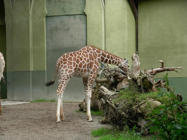 München, Tierpark Hellabrunn 27.06.2009 4de0h710