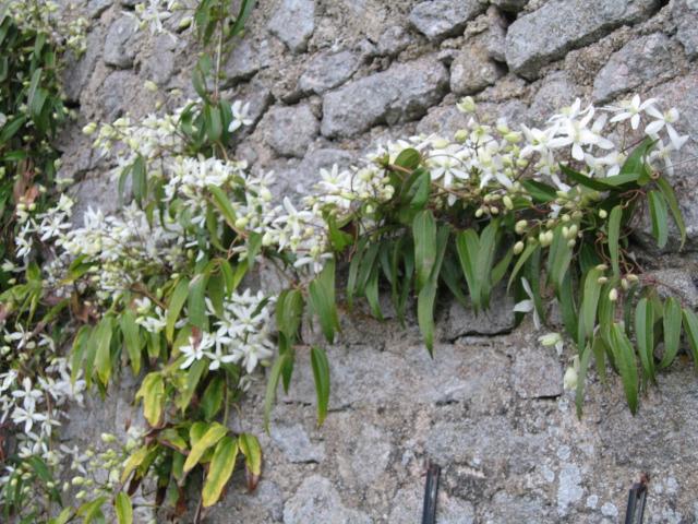 Petit résumé des Passifloras les plus résistantes Img_0018