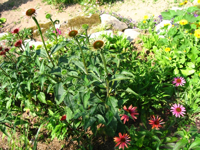 Echinaceas Img_0044