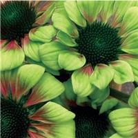 Echinaceas Plante10