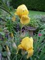 Thème du mois de Mai Iris10