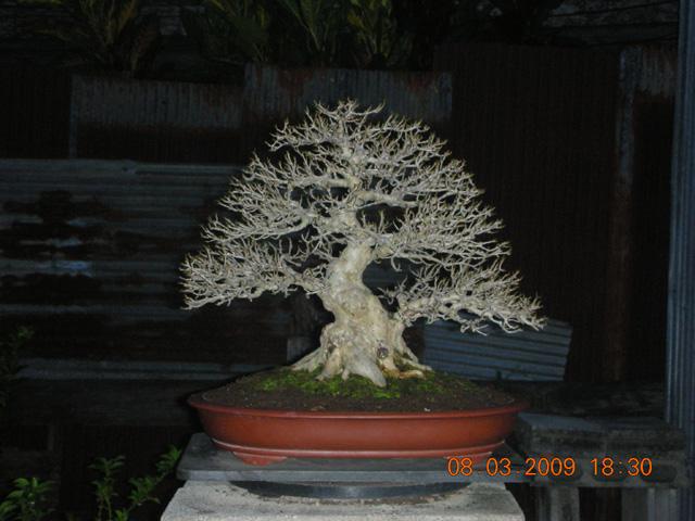 Vitex Quinata Dscn8929