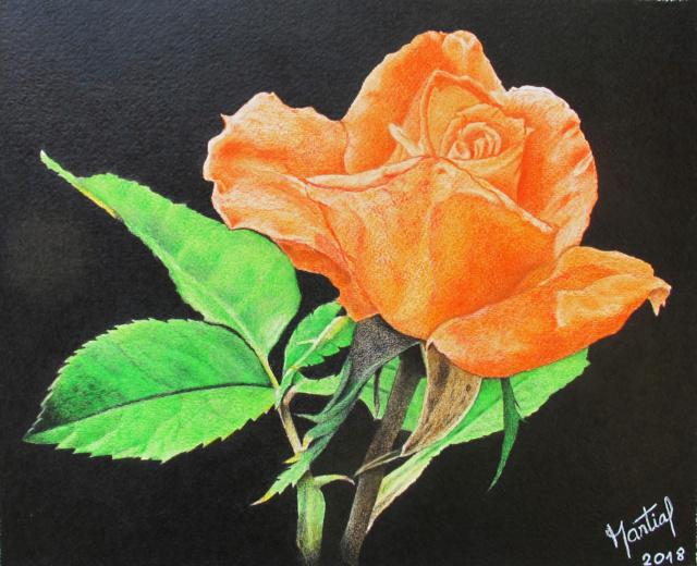 Ros'orange  Rose_o10