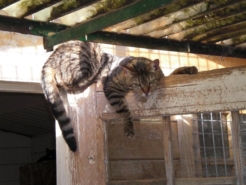 CASSY - chatte tigrée - avril 2010 -  tatouée : GFA962 ( spa d'armor - 35) Cassy10