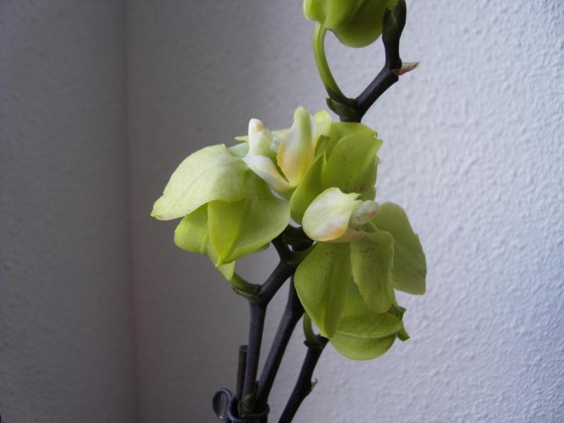Débutante, orchidées pas en forme... Sdc10514