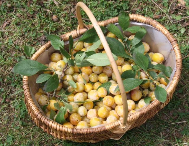 C'est la saison de la cueillette des mirabelles! Img_3749