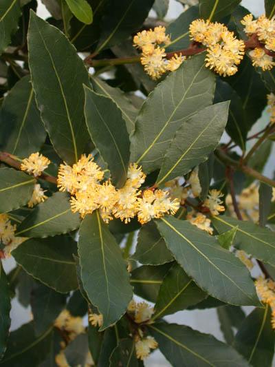 Plantas Laurel10