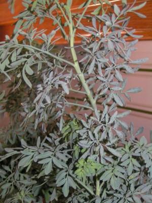 Plantas Ruda10