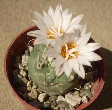 moji bodljikavi ljubimci Kaktus18