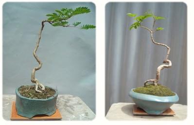 ¿Qué especies de árboles considera que se pueden utilizar para el bunjin? Fotoqu10