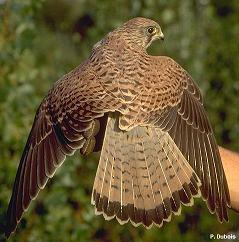 Fiche Totem : le Faucon Crecer10