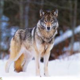 Les 5 Aspects du Thériotype Loup Wolf_a10