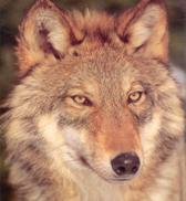 Les 5 Aspects du Thériotype Loup Wolf_b10