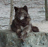 Les 5 Aspects du Thériotype Loup Wolf_d10