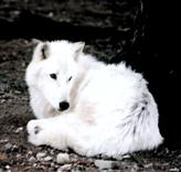 Les 5 Aspects du Thériotype Loup Wolf_g10
