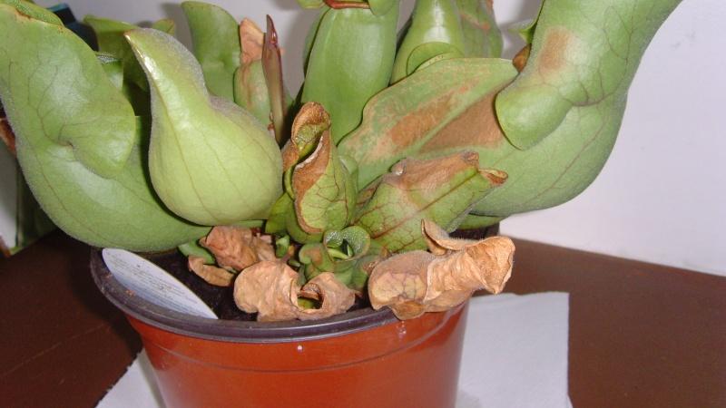 AIDE : Sarracenia Purpurea Snv32310
