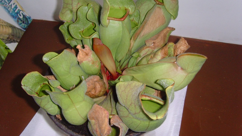 AIDE : Sarracenia Purpurea Snv32312