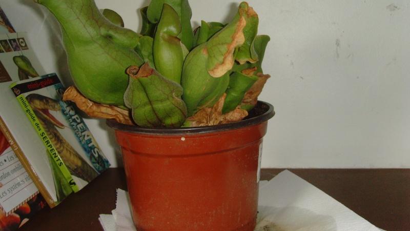 AIDE : Sarracenia Purpurea Snv32313