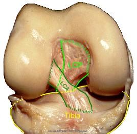 l'examen clinique du genou Anatom10