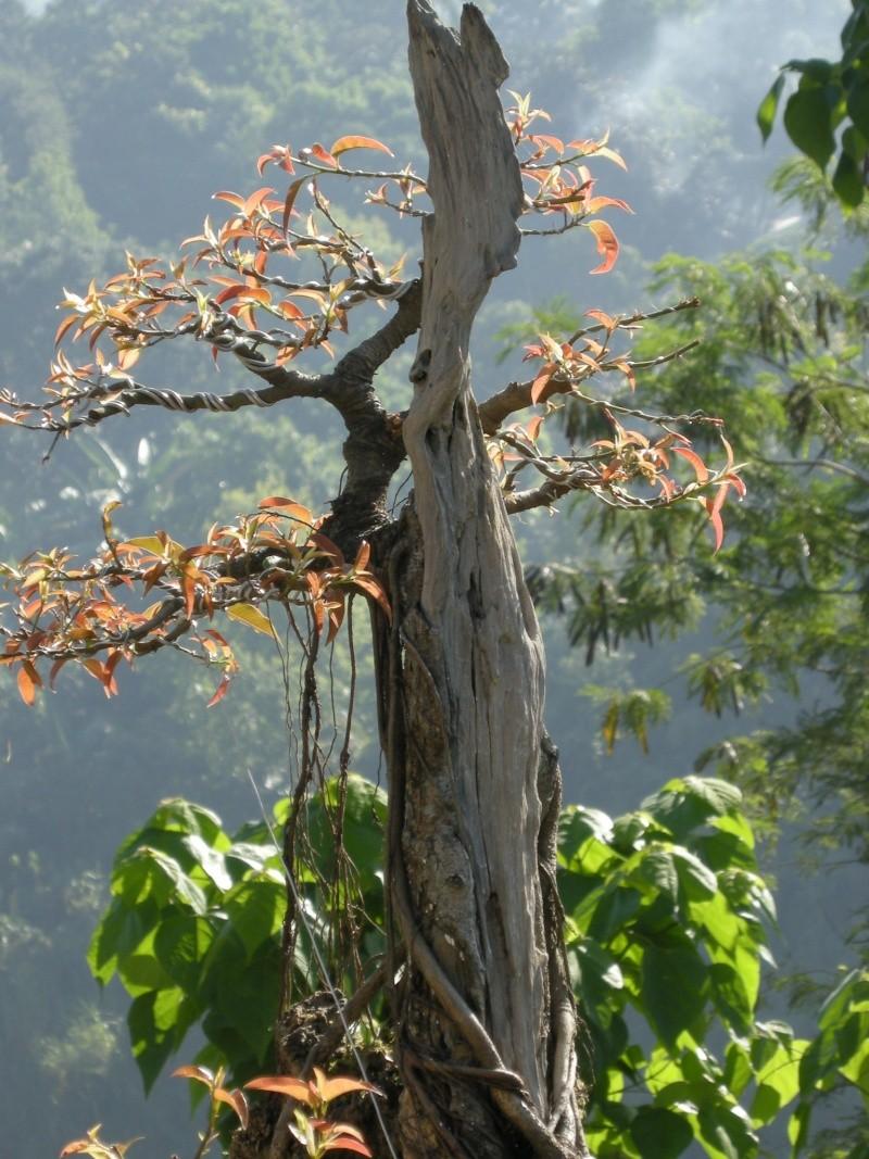 Casuarina Equisetifolia (Cemara Udang or Mu Ma Huang) - Page 3 Dscn0213