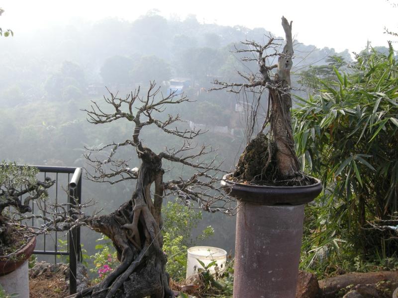 Casuarina Equisetifolia (Cemara Udang or Mu Ma Huang) - Page 3 Dscn0214