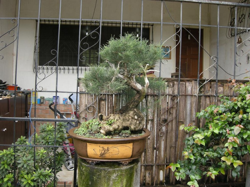 Casuarina Equisetifolia (Cemara Udang or Mu Ma Huang) - Page 3 Dscn0417