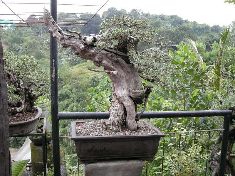 Casuarina Equisetifolia (Cemara Udang or Mu Ma Huang) - Page 3 Dscn0419