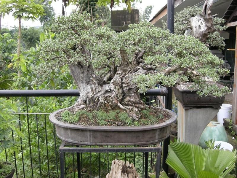 Casuarina Equisetifolia (Cemara Udang or Mu Ma Huang) - Page 3 Dscn0420