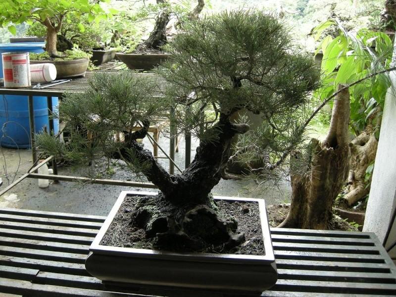 Casuarina Equisetifolia (Cemara Udang or Mu Ma Huang) - Page 3 Dscn0421