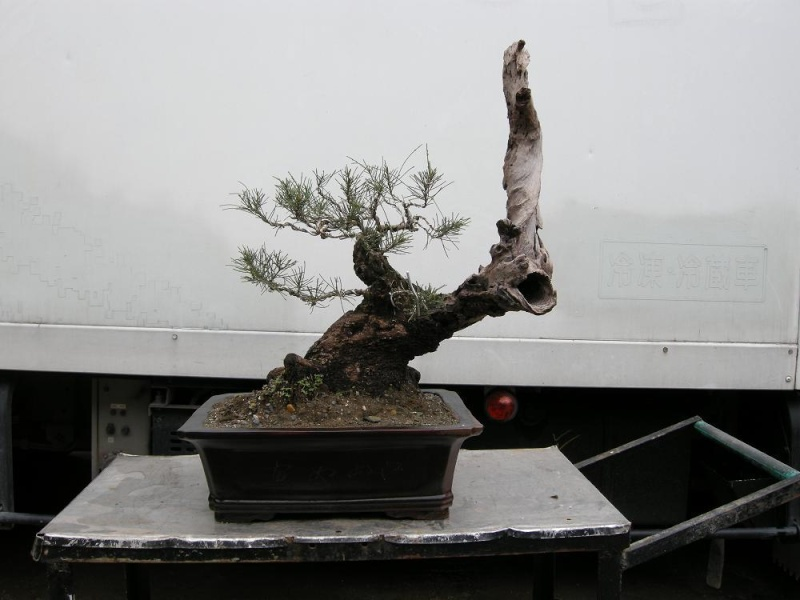 Casuarina Equisetifolia (Cemara Udang or Mu Ma Huang) - Page 3 Dscn0423
