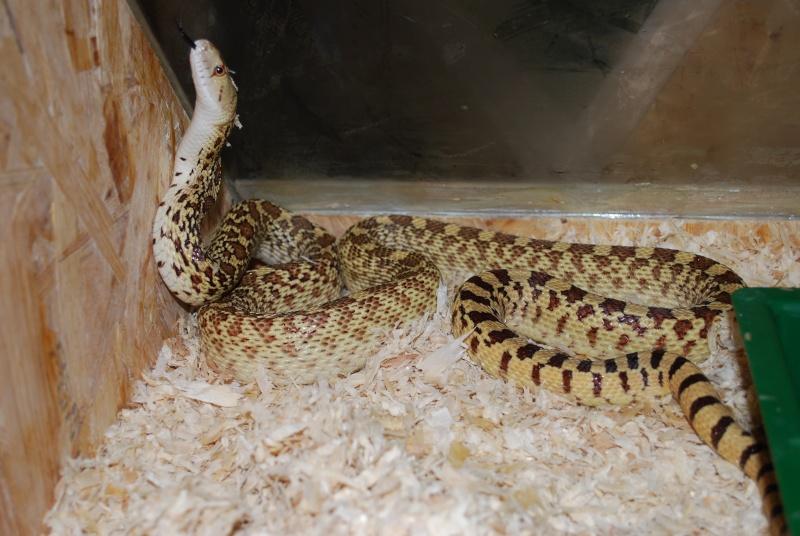 Serpent - Pituophis catenifer affinis Dsc_0010