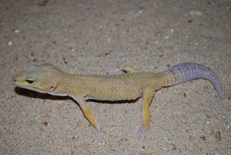 Lézard - Eublepharis macularius Gecko10