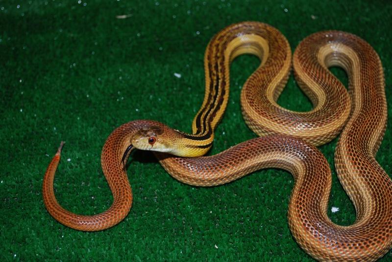 Serpent - pituophis catenifer annectans Ptio10