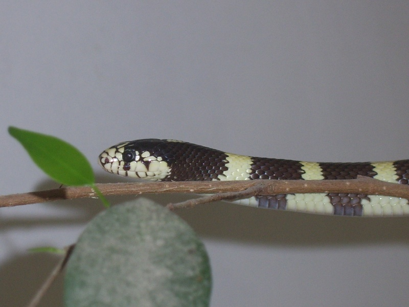 Serpent - Lampropeltis getulus californiae Raya10