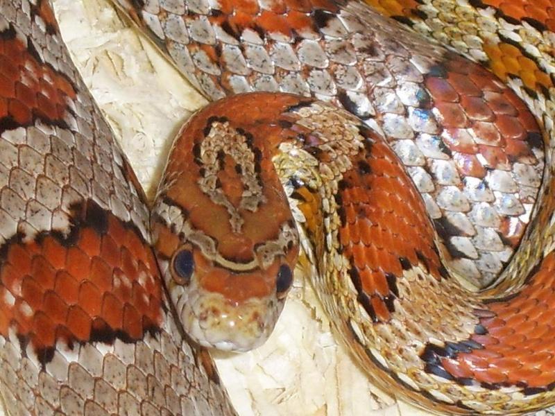 Serpent - Pantherophis guttatus Reptil10