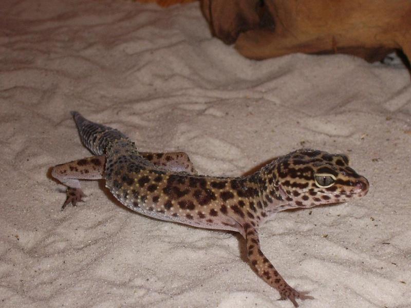 Lézard - Eublepharis macularius Reptil11